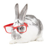 Rabbit with glasses Royalty Free Stock Image