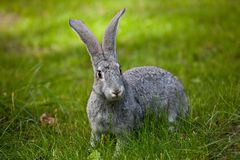 Rabbit in the grass. Royalty Free Stock Photography