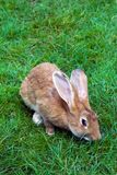 Rabbit on a grass Stock Photography