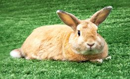 Rabbit on grass Royalty Free Stock Images