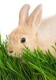 Rabbit in grass Royalty Free Stock Photos