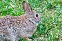 Rabbit in grass Royalty Free Stock Image