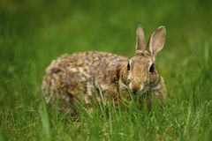 Rabbit in the Grass 4 Royalty Free Stock Photography