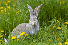Rabbit in grass royalty free stock images