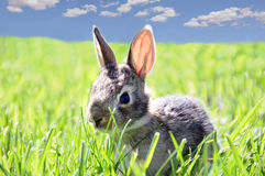 Rabbit in grass. A small wild rabbit in green field Royalty Free Stock Photos