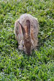A rabbit on grass Stock Photography