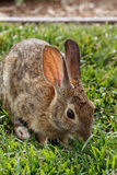 A rabbit on grass Royalty Free Stock Image