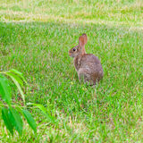 Rabbit in the grass Stock Photography