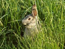 Rabbit in the grass. Brown rabbit in the grassy fields Royalty Free Stock Photo