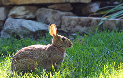 Wild Rabbit in The Grass. A wild brown rabbit in a sunny and grassy area Royalty Free Stock Photo