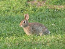 Rabbit in the Grass Royalty Free Stock Images