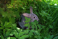 Rabbit in grass. Cute rabbit  Young domestic grey rabbit Royalty Free Stock Images