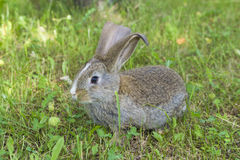 Rabbit on grass Royalty Free Stock Image