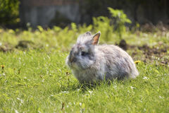Rabbit in grass. Stock Images