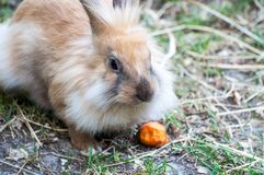 Domestic beige rabbit with fluffy fur eating a piece of carrot, at the zoological garden stock photos
