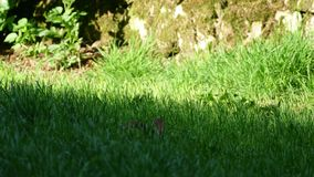 Rabbit in the grass 4K stock video footage