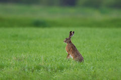 Rabbit in the grass. And watching around Stock Image