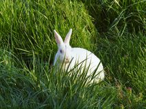 Rabbit in the grass. White rabbit in the grassy fields Stock Images