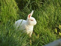 Rabbit in the grass. White rabbit in the grassy fields Royalty Free Stock Image