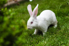 Rabbit on grass Stock Image