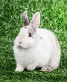 Rabbit on the grass Royalty Free Stock Photography