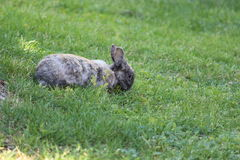 Rabbit on grass Stock Photography