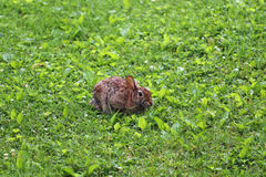 Rabbit in the grass. A wild rabbit sitting in the dew covered grass Royalty Free Stock Images