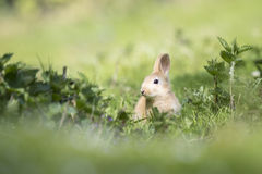 Rabbit on grassland Royalty Free Stock Photo