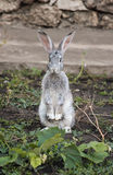 Rabbit. Gray rabbit sitting in two feet Stock Photo