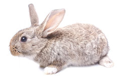 Rabbit gray sitting on white background Easter Stock Images
