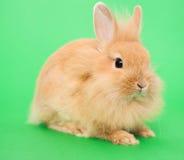 Rabbit on Green Royalty Free Stock Image