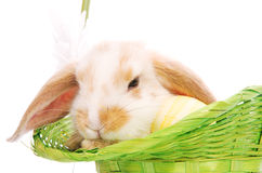 Rabbit in the green basket with daisies Stock Image