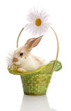 Rabbit in the green basket with daisies Royalty Free Stock Photo