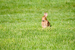 Rabbit in green field Royalty Free Stock Images