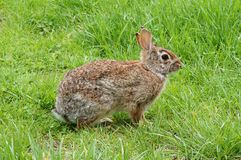 Rabbit. Rabbit in the green grass Stock Image