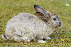 Rabbit in the green grass Royalty Free Stock Image
