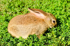 Rabbit on  green grass Stock Images