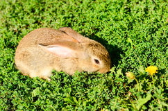 Rabbit on  green grass Royalty Free Stock Image