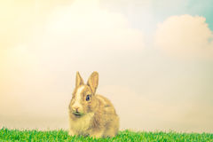 Rabbit on green grass for easter holiday ( Filtered image proces Royalty Free Stock Photo