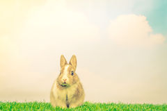 Rabbit on green grass for easter holiday ( Filtered image proces Royalty Free Stock Photography