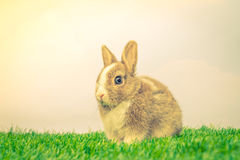 Rabbit on green grass for easter holiday ( Filtered image proces Stock Images