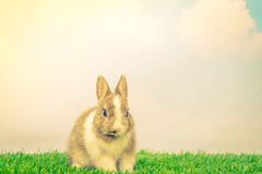 Rabbit on green grass for easter holiday ( Filtered image proces Royalty Free Stock Image