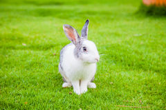 Rabbit in green grass garden; Animal in closeup; cute bunny Royalty Free Stock Images