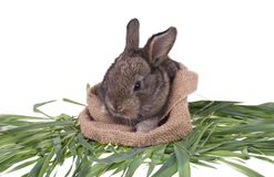 Rabbit in green grass. Isolated on white background Royalty Free Stock Images