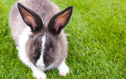 Rabbit in green grass Stock Images