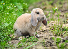 Rabbit in green grass Stock Photography