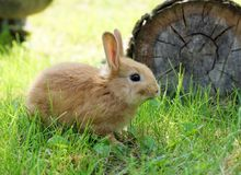 Rabbit on green grass Royalty Free Stock Photo