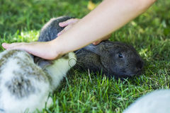 Rabbit in Green Grass with small child and rabbits in the backgr Royalty Free Stock Image