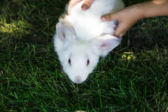 Rabbit in Green Grass with small child and rabbits in the backgr Stock Photo