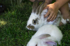 Rabbit in Green Grass with small child and rabbits in the backgr Royalty Free Stock Photo